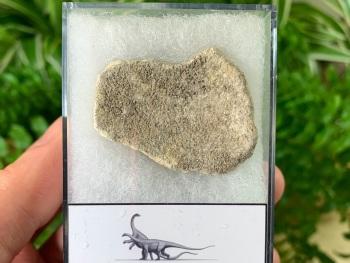 Saltasaurus Sauropod Eggshell #04