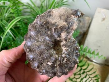 """Mammites nodosoides """"Spiny"""" Ammonite (3.94 inch) #03"""