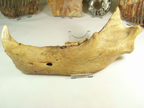 Cave Bear Jaw