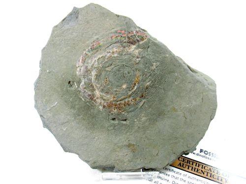 Psiloceras Ammonite #1