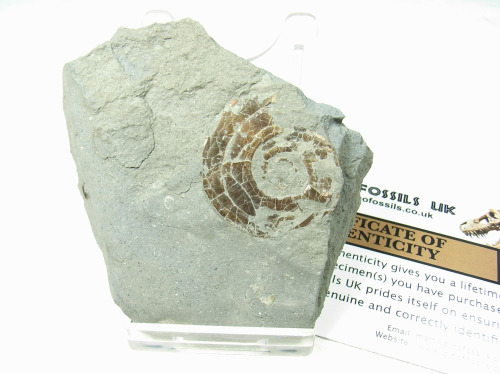 Psiloceras Ammonite #2