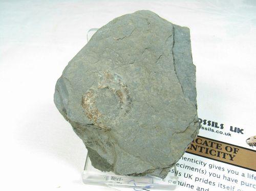 Psiloceras Ammonite #4