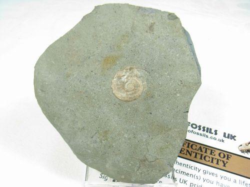 Psiloceras Ammonite #5