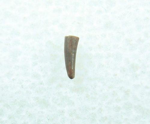 Peteinosaurus (?) Pterosaur tooth #1