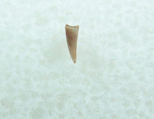 Peteinosaurus (?) Pterosaur tooth #2