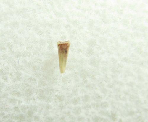Peteinosaurus (?) Pterosaur tooth #3