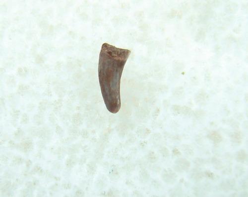 Preondactylus Pterosaur tooth #2