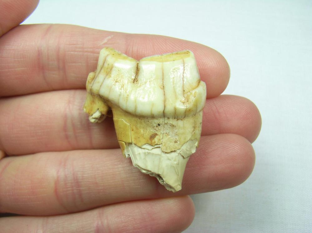 Spotted Hyaena Tooth - Devon, UK #1