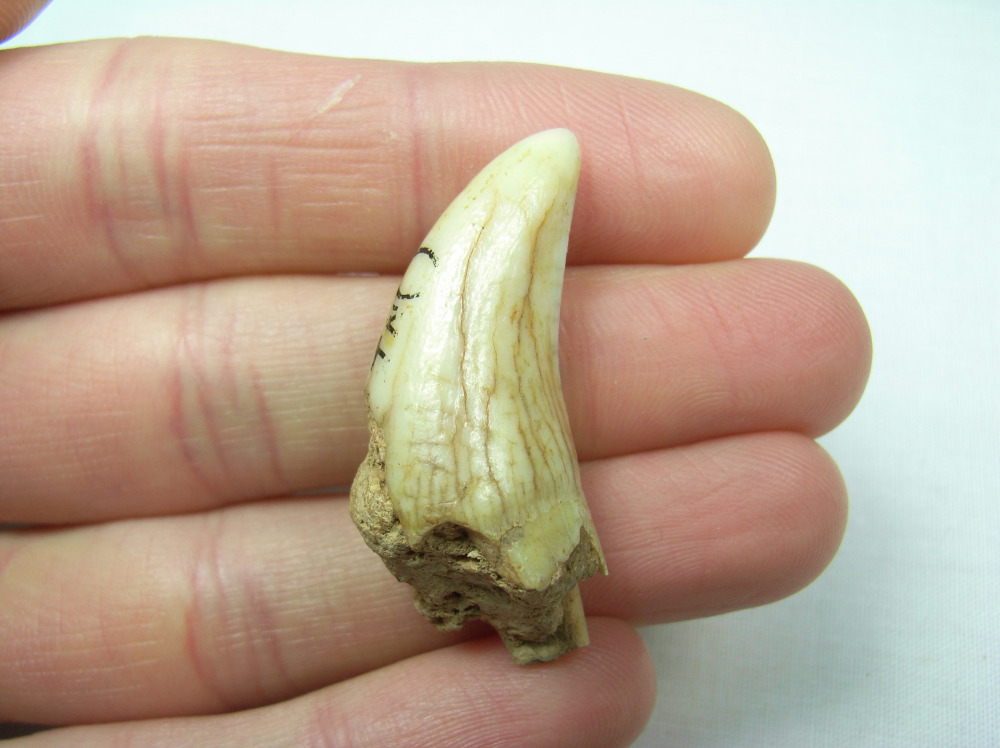Cave Hyaena Tooth - Devon, UK #3