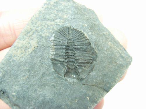 Trilobite (Shropshire, UK) #7