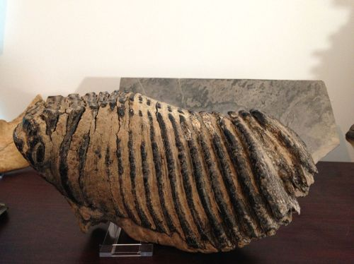 Mammoth tooth #1