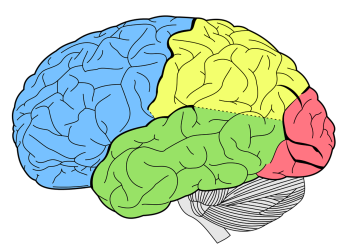 Brain Drawing Colour