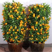 30Pcs Mandarin Citrus Orange Bonsai Tree Seeds