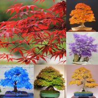 20pcs-Japanese-Maple-Tree-Bonsai-Seeds