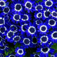 50pcs Rare Blue Daisy Flower Seeds