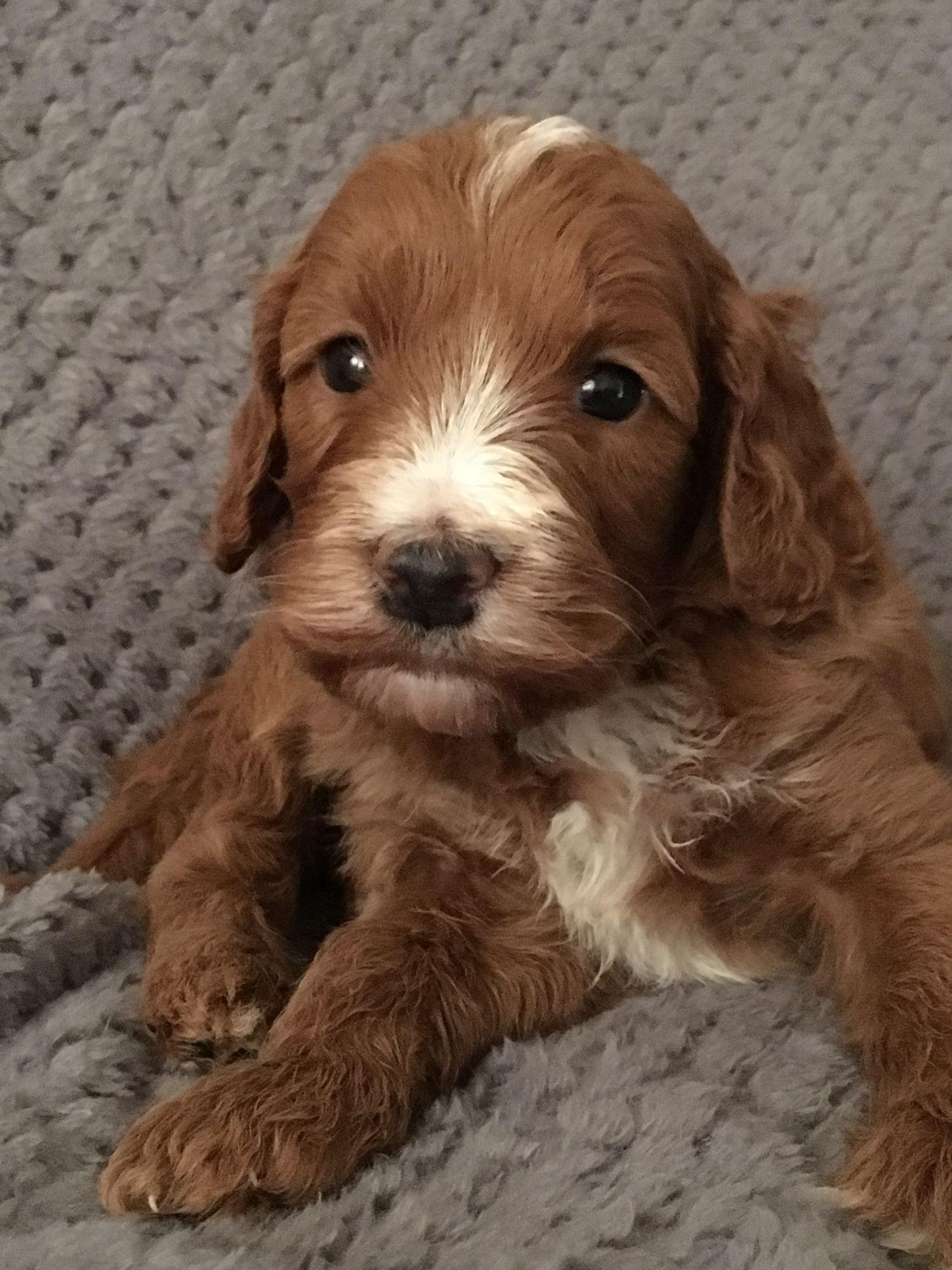 irish Doodle Puppy 1
