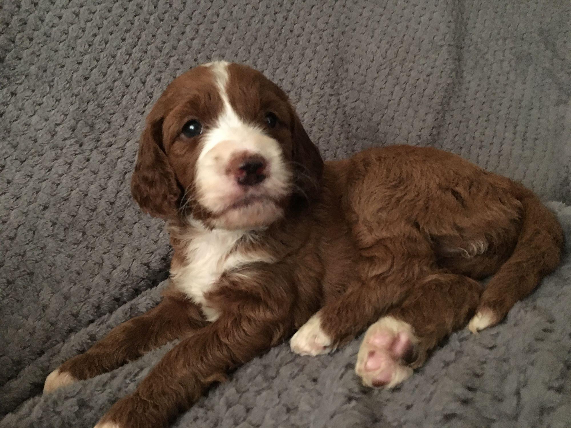Irish Doodle Puppy 7
