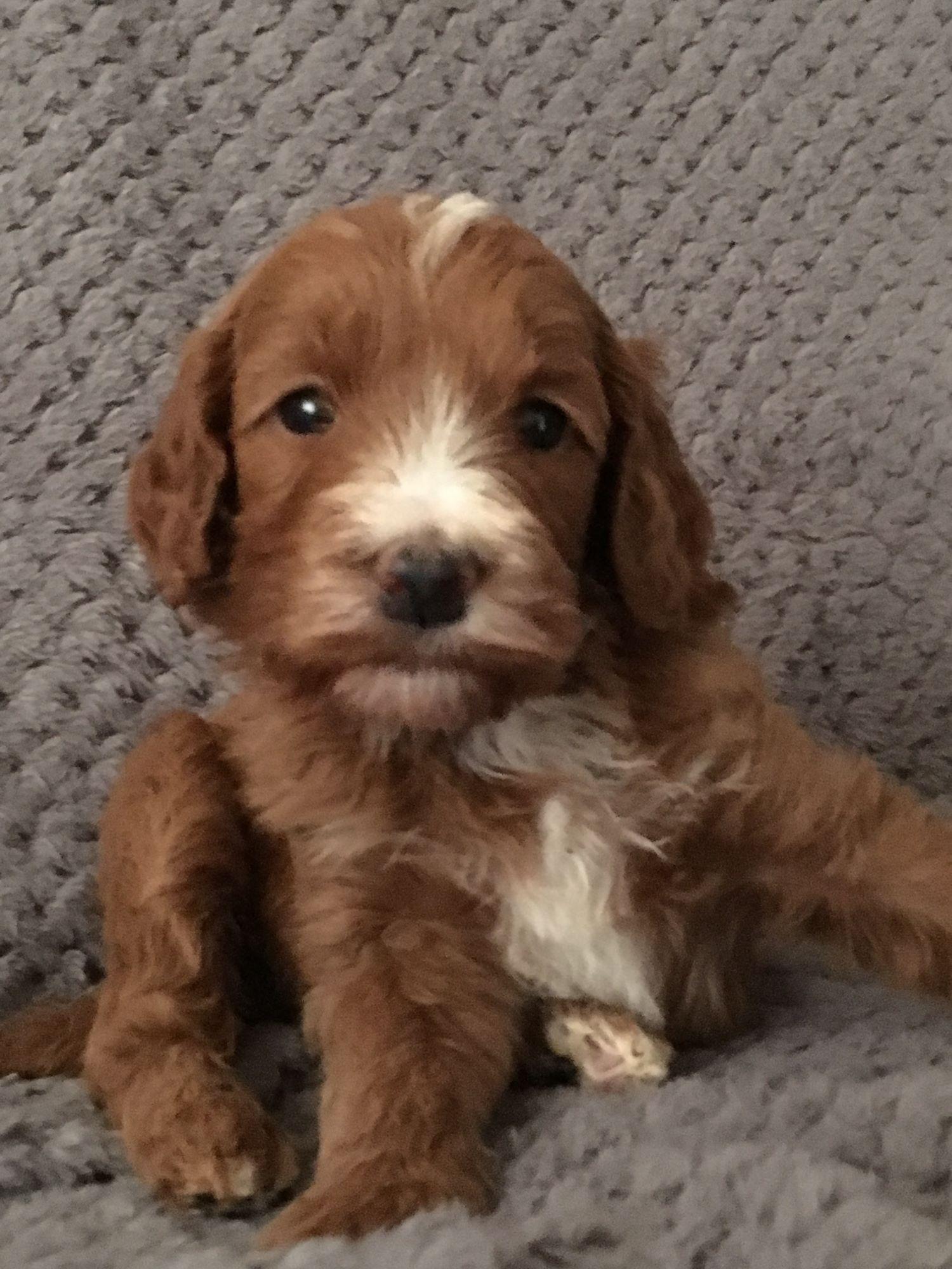 Irish Doodle Puppy 6