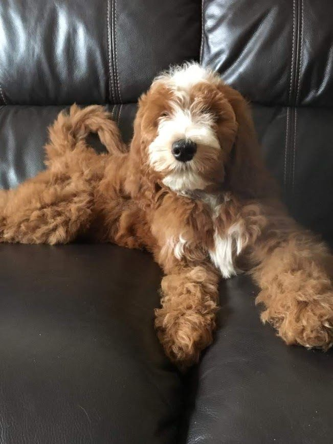 Irish Doodle Puppy