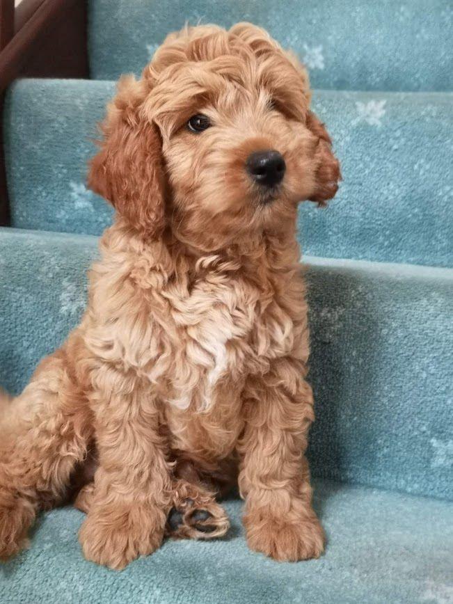 F1b Puppy