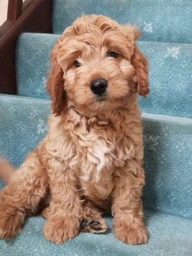 F1b Puppy 4