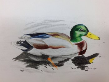 Mallard Drake - SOLD - Prints available