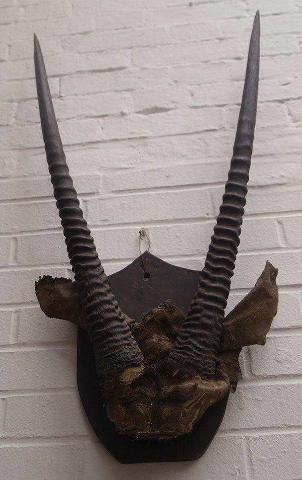 Large Antique Mounted Taxidermy Gazelle Horns -93cms