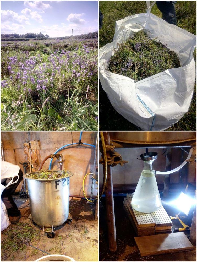 Inglenook Farm Lavender Harvest 2019