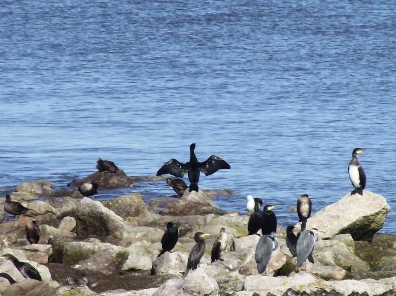birds-Cormorants-in-Morecambe-Bay-on-groin