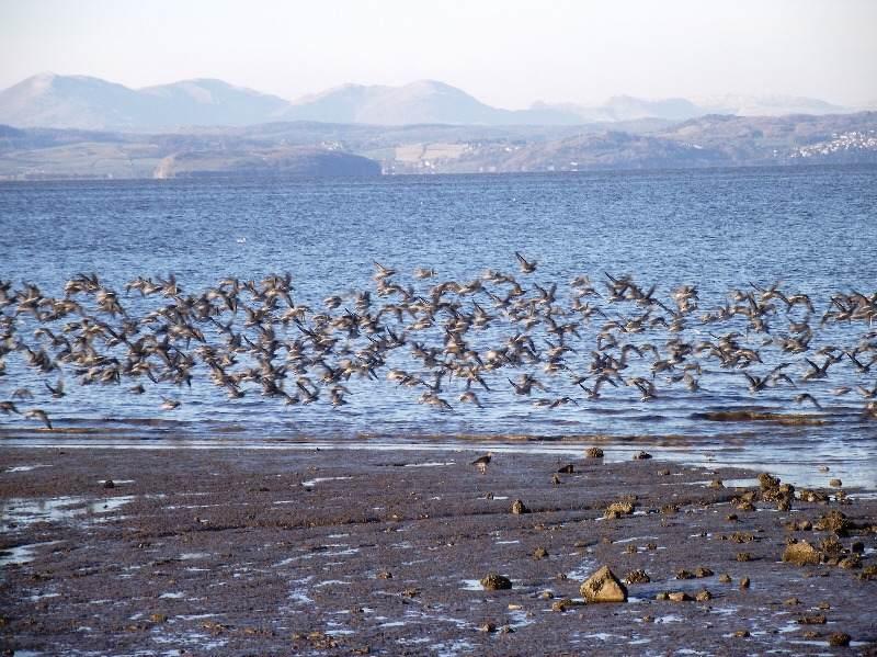 birds-flock-in-Morecambe-Bay