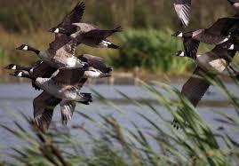 canada-geese-leighton-moss