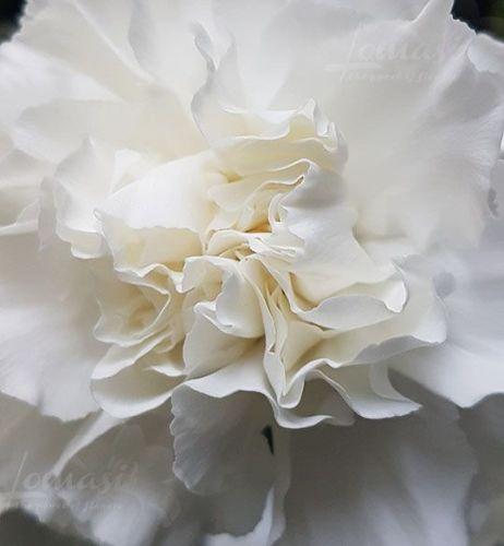 Whitecarnation2