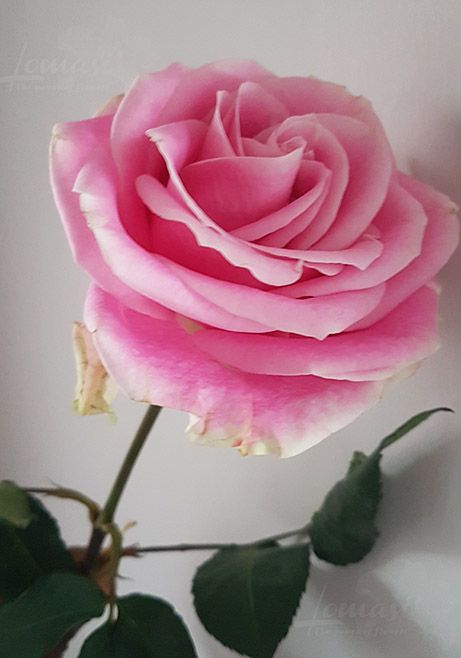 Pink rose, flower meaning remembering your beauty within.