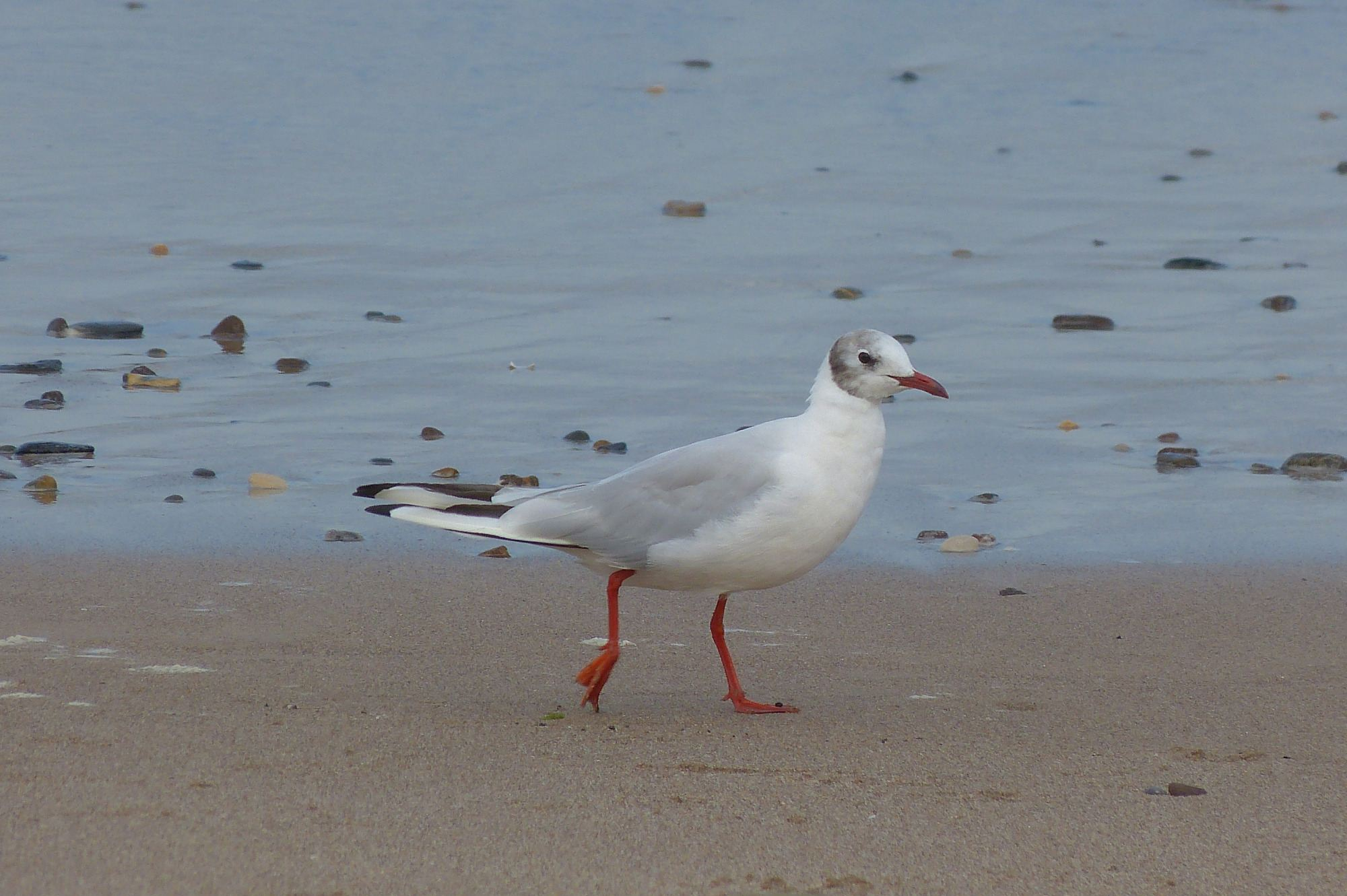 a2 19082015 black headed gull