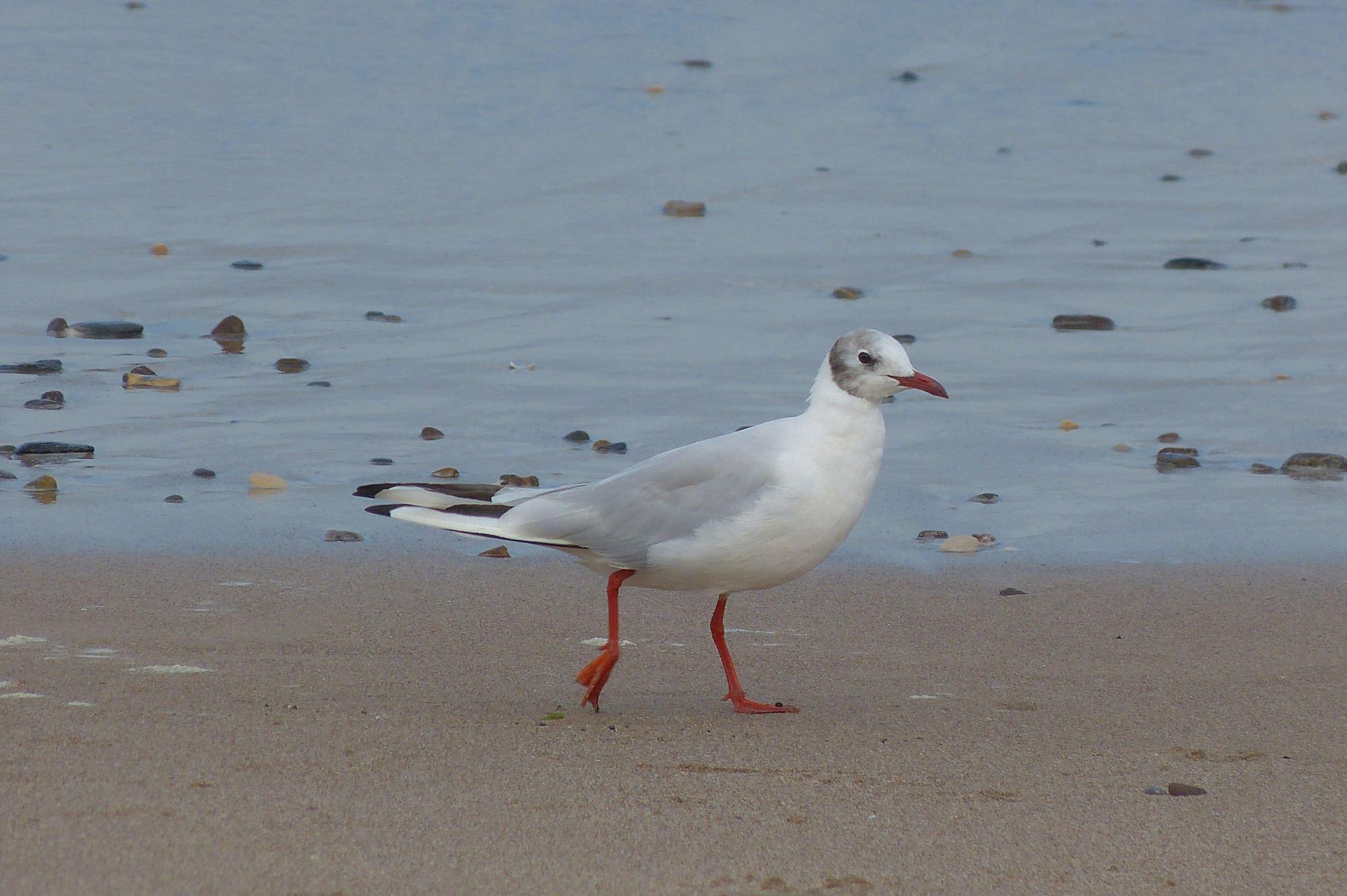 a2 19082015 black headed gull