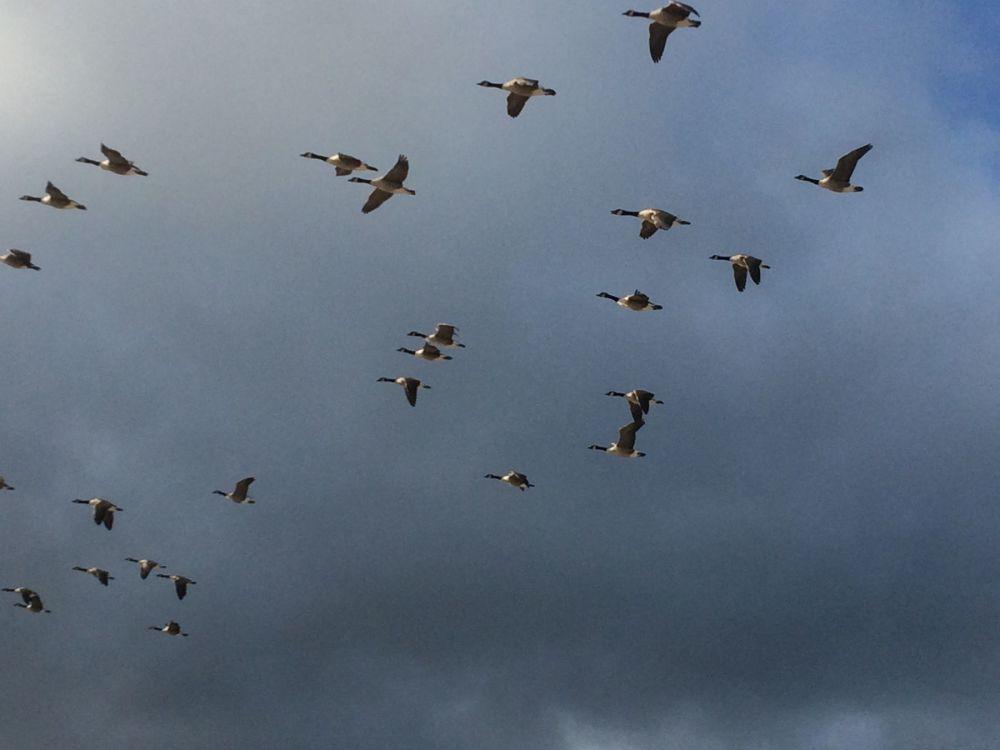 Warkworth Beach Canada Geese