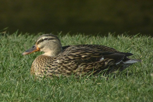 female mallard river coquet warkworth