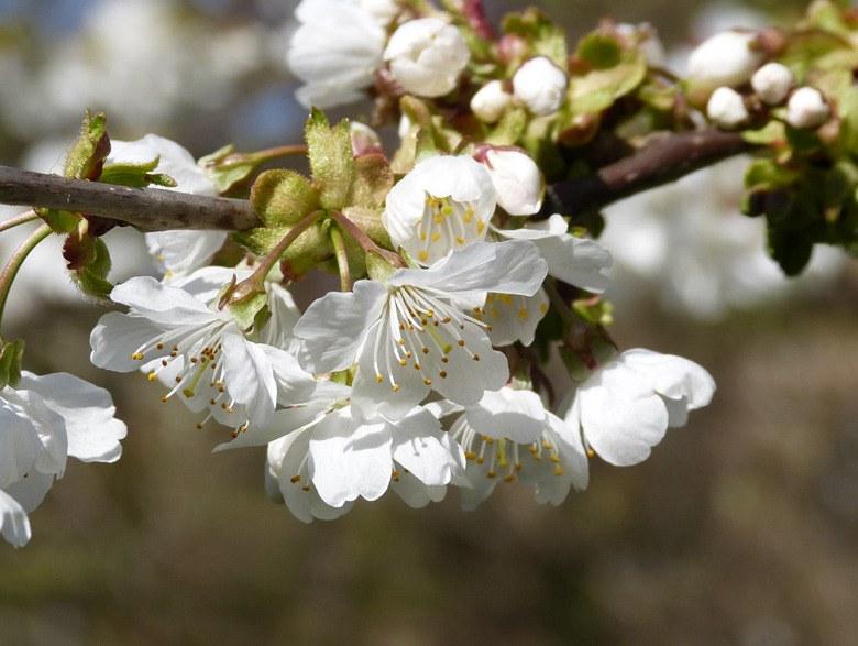 cherry blossom blog