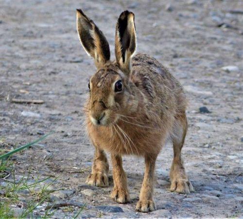 2020.04.27 Hare