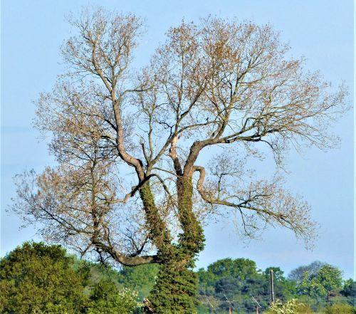 2020.05.16 Black Poplar