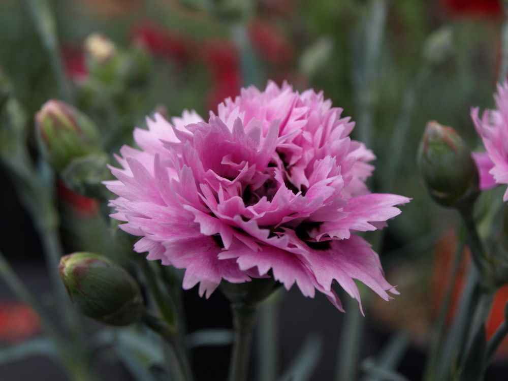 Alpine Pinks Available  May 15th onwards 2017