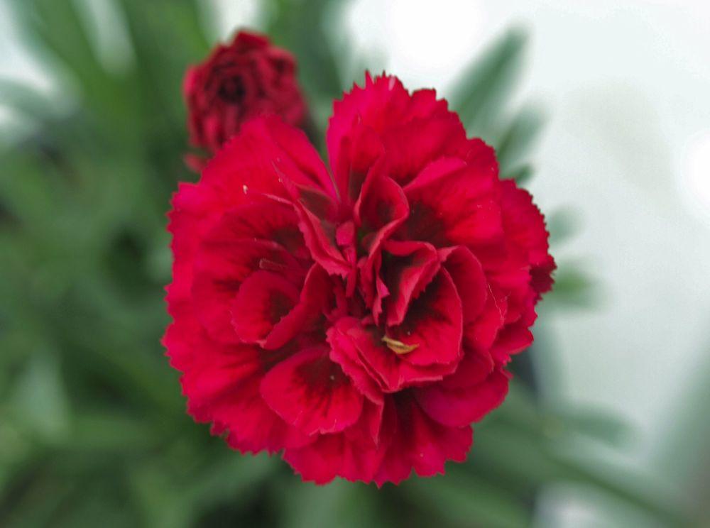 garden pink (3)