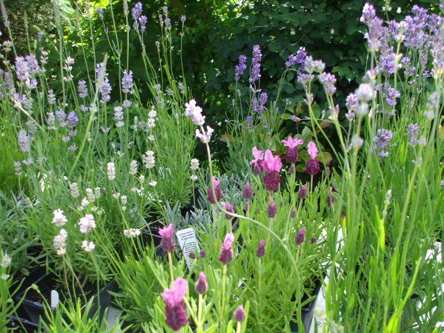 Lavender Grey Hedge
