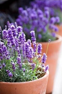 lavender2 (1)