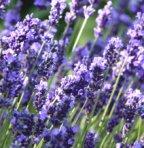 augustifolia blue