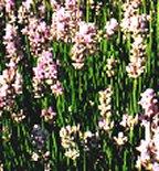 hidcote pink