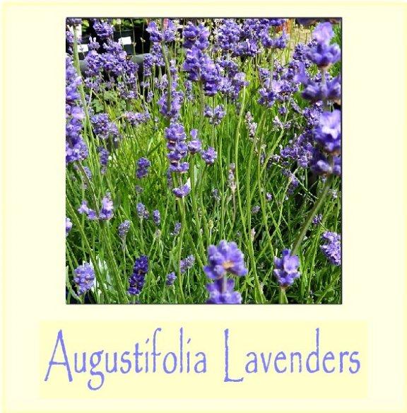 augustifolia lavenders