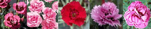 alpine pinks dianthus