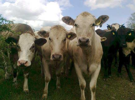 faq cow