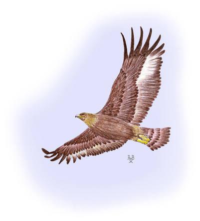 More Info_Eagle